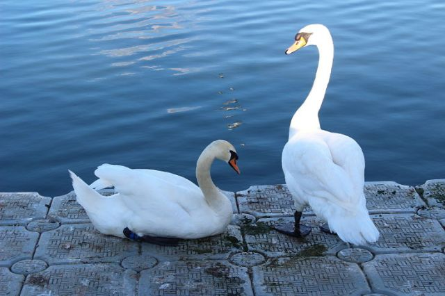 swans at west bay